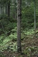 アカエゾマツ枯木