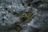 岩、アカエゾマツ稚樹