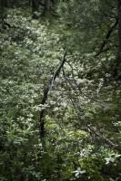 エゾイソツツジの中のアカエゾマツ枯木