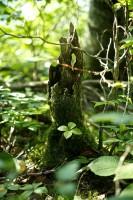 枯木株にゴゼンタチバナ