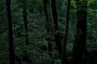 深い森の薄暮