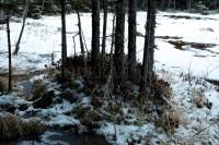 湿地のアカエゾマツ